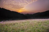 棚田のコスモスの朝 26120042213| 写真素材・ストックフォト・画像・イラスト素材|アマナイメージズ