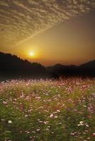 棚田のコスモスの日の出 26120042215| 写真素材・ストックフォト・画像・イラスト素材|アマナイメージズ