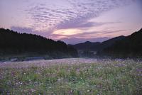 棚田のコスモスの朝 26120042330| 写真素材・ストックフォト・画像・イラスト素材|アマナイメージズ
