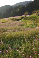 棚田のコスモス 26120042335| 写真素材・ストックフォト・画像・イラスト素材|アマナイメージズ