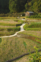 棚田のコスモス 26120042337| 写真素材・ストックフォト・画像・イラスト素材|アマナイメージズ