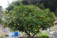 大日比ナツミカン原樹 26120042584| 写真素材・ストックフォト・画像・イラスト素材|アマナイメージズ