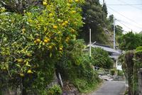 大日比ナツミカン原樹 26120042585| 写真素材・ストックフォト・画像・イラスト素材|アマナイメージズ