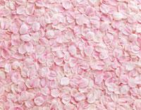 桜の花びら 26121001067| 写真素材・ストックフォト・画像・イラスト素材|アマナイメージズ