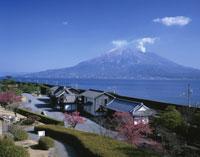 仙厳園の寒緋桜と桜島