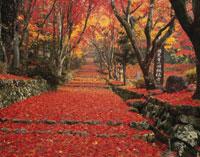 紅葉の散りもみじの鶏足寺参道