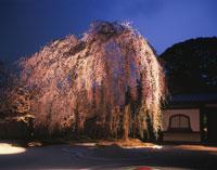 高台寺しだれ桜のライトアップ 26121003855| 写真素材・ストックフォト・画像・イラスト素材|アマナイメージズ