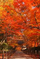 紅葉の光明寺の参道 26121004153| 写真素材・ストックフォト・画像・イラスト素材|アマナイメージズ