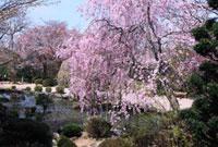 桜咲く竹林院のしだれ桜の庭園