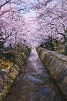 哲学の道の関雪桜と桜並木 26121006512| 写真素材・ストックフォト・画像・イラスト素材|アマナイメージズ