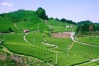 和束の茶畑 26121010075| 写真素材・ストックフォト・画像・イラスト素材|アマナイメージズ