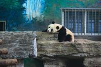 北京動物園のパンダ