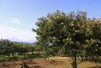 小布施の栗の木