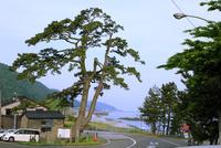 市振の宿の海道の松