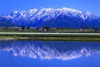 富山のチューリップ畑