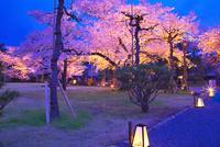 桜の二条城 26121018763| 写真素材・ストックフォト・画像・イラスト素材|アマナイメージズ