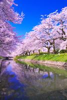 サクラの咲く松川公園