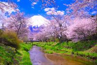 富士山と忍野の桜並木 26121019134| 写真素材・ストックフォト・画像・イラスト素材|アマナイメージズ