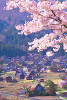 桜の咲く白川郷合掌村 26121019179| 写真素材・ストックフォト・画像・イラスト素材|アマナイメージズ