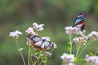 フジバカマの蜜を吸うアサギマダラ 26121021600| 写真素材・ストックフォト・画像・イラスト素材|アマナイメージズ