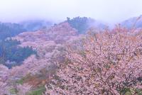 サクラの咲く吉野山
