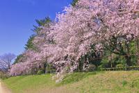 サクラの半木の道 26121029804| 写真素材・ストックフォト・画像・イラスト素材|アマナイメージズ