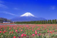 チューリップと富士山,