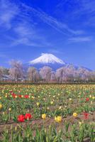 サクラとチューリップと富士山 26121031554| 写真素材・ストックフォト・画像・イラスト素材|アマナイメージズ