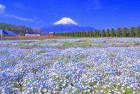 ネモフィラと富士山 26121031564  写真素材・ストックフォト・画像・イラスト素材 アマナイメージズ