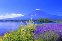 富士山とラベンダー 26121032267| 写真素材・ストックフォト・画像・イラスト素材|アマナイメージズ