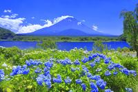 アジサイと富士山 26121032270| 写真素材・ストックフォト・画像・イラスト素材|アマナイメージズ