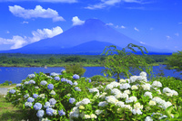 アジサイと富士山 26121032272| 写真素材・ストックフォト・画像・イラスト素材|アマナイメージズ