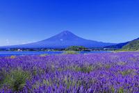 富士山とラベンダー 26121032373| 写真素材・ストックフォト・画像・イラスト素材|アマナイメージズ