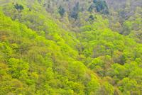 新潟県 谷川岳の新緑
