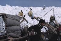 綿花の収穫 26140000097| 写真素材・ストックフォト・画像・イラスト素材|アマナイメージズ