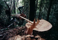 熱帯雨林伐採