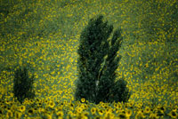 ひまわり畑 26140000925| 写真素材・ストックフォト・画像・イラスト素材|アマナイメージズ