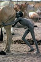 雌牛の膣に息を吹き込む少年