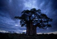 マサイ族の少年とバオバブ樹