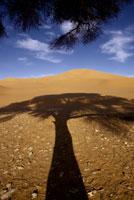 アカシアの影