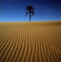 砂丘とナツメヤシ