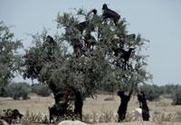 木登りヤギ