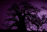 バオバブ樹と稲妻