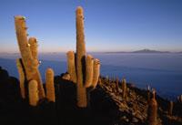 ウユニ塩湖のサボテン