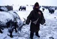 厳冬期の遊牧