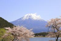 田貫湖の桜