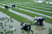 新潟の田植え風景