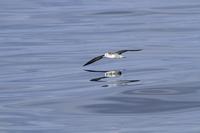 水面を飛翔するオオミズナギドリ