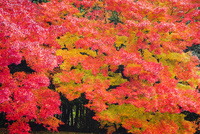 艶やかなモミジの紅葉 26169000713| 写真素材・ストックフォト・画像・イラスト素材|アマナイメージズ