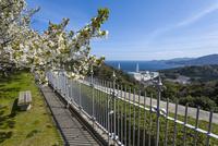 桜咲く島根原子力館の前庭から見る島根原子力発電所 26169001014| 写真素材・ストックフォト・画像・イラスト素材|アマナイメージズ